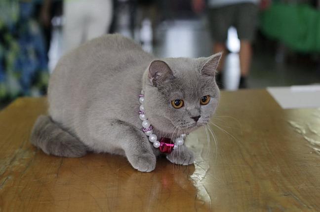Лучшая кошка КШ, Venera Vendi, BRI с (Варламова Е.)