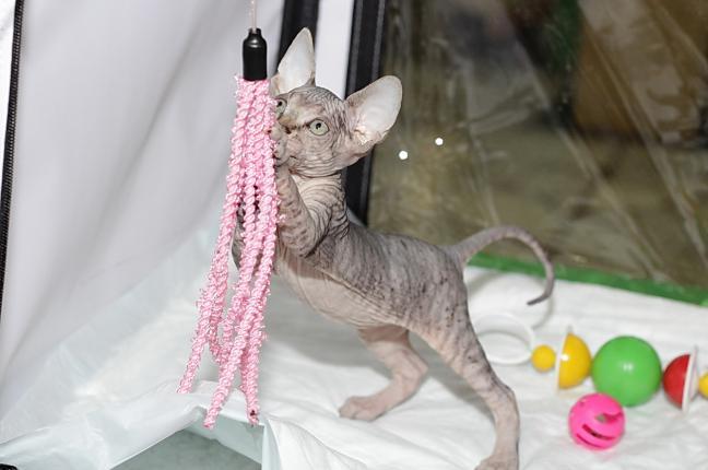 Котёнок породы Канадский сфинкс